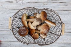 Fresh Porcino or Porcini Mushrooms in Autumn Stock Photography