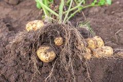 Fresh potato Stock Photos