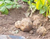 Fresh potato. Freshly dug potatoes on a field Stock Photo