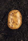 Fresh potato on the soil background Stock Image