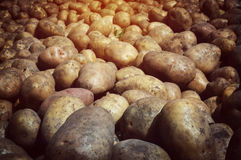 Fresh potato tubers closeup. Low-key lighting. Many fresh organic potatoes in the field. Background of potatoes. Retro photo royalty free stock photo