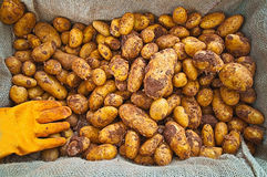 Fresh potatoes Royalty Free Stock Photography