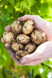 Fresh potatoes Stock Image