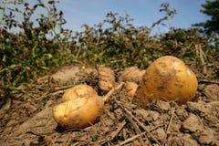 Fresh potatoes Stock Image