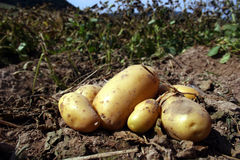 Fresh potatoes. On a field stock image