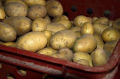 Fresh potatoes in crate. Close view of Freshly picked shiny potatoes in the red crate Stock Photography