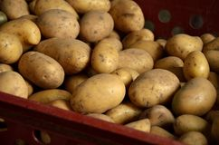 Fresh potatoes in crate. Macro view of Freshly picked shiny potatoes in the red crate Royalty Free Stock Images