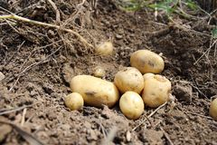 Fresh potatoes dug out the field. Stock Images
