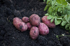 Fresh potatoes on field Stock Images