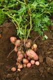 Fresh potatoes. Freshly dug potatoes on the ground - Stock photos Stock Image