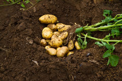 Fresh potatoes. Freshly dug potatoes on the ground - Stock photos Stock Photos