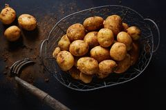 Wire basket with harvested potatoes Stock Images