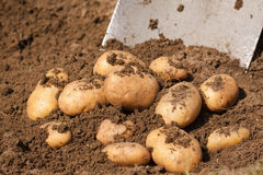 Fresh potatoes in the ground Royalty Free Stock Photo