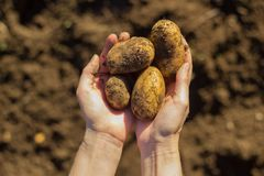 Fresh potatoes just dug out of the ground royalty free stock photography