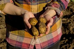 Fresh potatoes just dug out of the ground royalty free stock photos