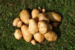 Fresh potatoes. Royalty Free Stock Photo