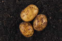 Fresh potatoes on the soil background Stock Photography