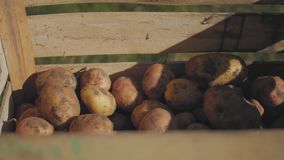Fresh potatoes in wooden box. Fresh potatoes in wooden box stock video