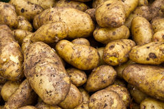 Fresh potatos. After harvest on field Royalty Free Stock Images