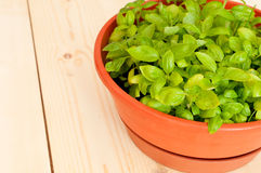 Fresh Potted Basil Stock Photography