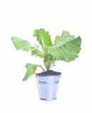 Fresh potted Basil Royalty Free Stock Images