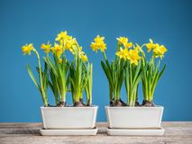 Fresh potted daffodils. Fresh potted yellow daffodils on wooden table over blue background Royalty Free Stock Image