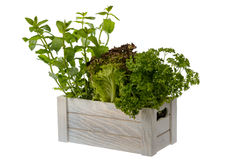 Fresh potted lettuce, mint and parsley in wooden box isolated. Stock Photography