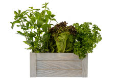 Fresh potted lettuce, mint and parsley in wooden box isolated. Royalty Free Stock Photos