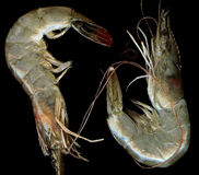 Fresh Prawn close up. Two fresh prawns on the black royalty free stock image