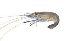 Fresh prawn or shrimp isolated on white background Royalty Free Stock Photos