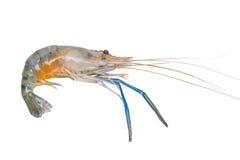 Fresh prawn or shrimp isolated on white background Royalty Free Stock Photo