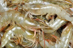 Fresh prawns fishes Stock Images