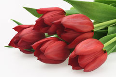 Fresh pretty bouquet of red tulips. Isolated Royalty Free Stock Photography