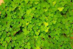 Fresh pretty petite green leaves of greenery groundcover plant , closeup photo. Fresh pretty petite green leaves of greenery groundcover plant in backyard royalty free stock photos