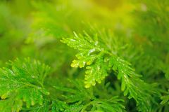 Fresh pretty petite leaves of Spike Moss with water droplets in backyard gardens on blurred background royalty free stock photos