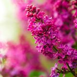 Pretty Fresh Lilacs stock photography