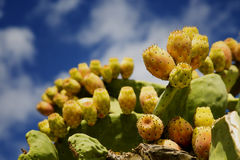 Fresh prickly pears Royalty Free Stock Photo