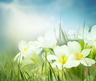 Fresh primrose flowers in the spring meadow Stock Photography