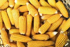 Fresh Process harvest Dried Corn royalty free stock photography