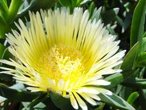 Protea nitida in season. Fresh flower bloom in spring along the beach. stock images