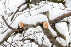 Fresh pruned apple branch in winter. Under the snow royalty free stock photo