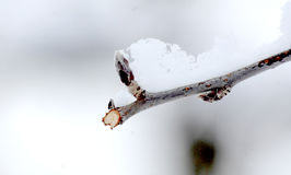 Fresh pruned apple branch in winter. Under the snow stock photo