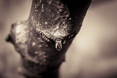 Fresh pruned branch. Teardrop of fresh pruned branch in winter Stock Images