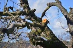 Free Fresh Pruned Old Apple Tree Stock Photo - 105567290