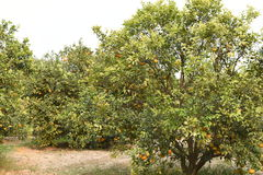 Fresh pulpy Oranges growing on green tree plants Royalty Free Stock Photography