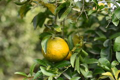 Fresh pulpy Oranges growing on green tree plants Royalty Free Stock Photos