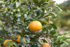 Fresh pulpy Oranges growing on green tree plants Stock Photos