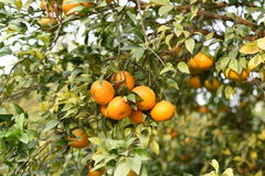 Fresh pulpy Oranges growing on green tree plants Stock Photography
