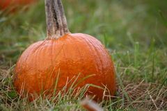 Fresh pumpkin. A fresh orange pumpkin on a grass patch Royalty Free Stock Image