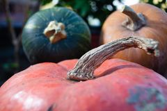 Fresh pumpkin and gourds Royalty Free Stock Images
